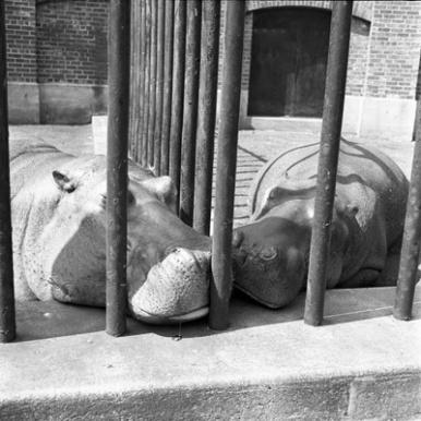 new-york-two-hippos-1955-vivian maier