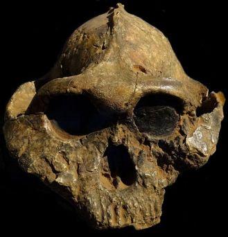 576px-Paranthropus-boisei-Nairobi