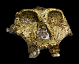739px-Original_of_Paranthropus_robustus_Face