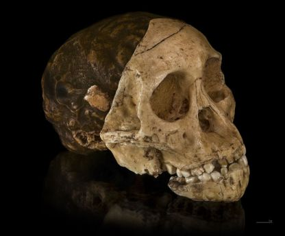 Australopithecus_africanus_-_Cast_of_taung_child